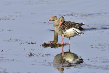 Greylag Geese preening