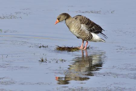 anseriformes: Greylag Geese preening