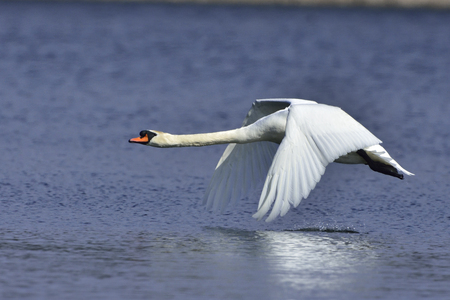 mute: During takeoff Mute Swan