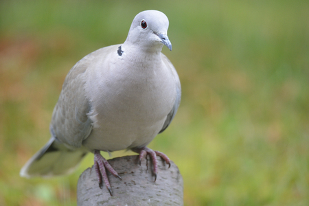 eurasian: Eurasian Collared Dove looking for food Stock Photo