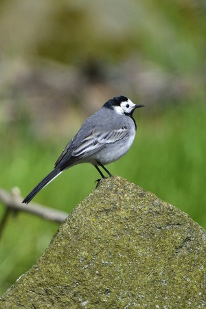 white wagtail: White wagtail looking for food