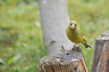 greenfinch: European Greenfinch on a tree Stock Photo