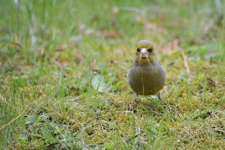 greenfinch: European Greenfinch on a meadow
