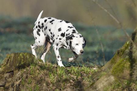 dalmatian: Dalmatian (dog) runs through the forest