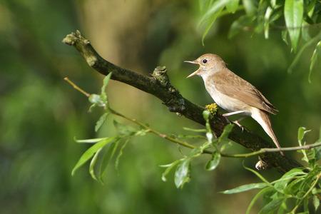 ruiseñor: Nightingale Tordo, el canto ruiseñor en un árbol en la mañana