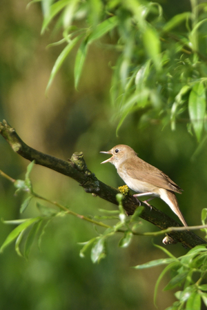 thrush: Thrush nightingale, nightingale singing on a tree in the morning Stock Photo