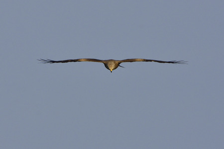 black kite: Black kite in flight