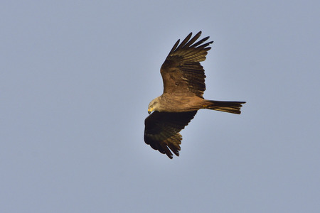 milvus: Black kite in flight