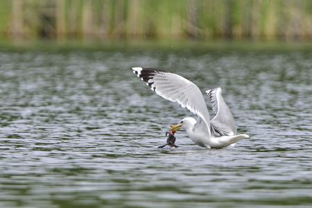 prey: European herring gull with prey