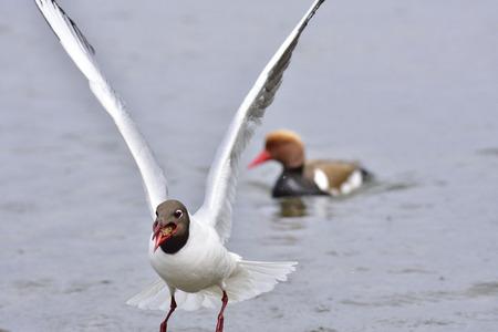black headed: Black headed gull in flight