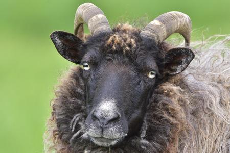 Portrait from a Heidschnucke sheep