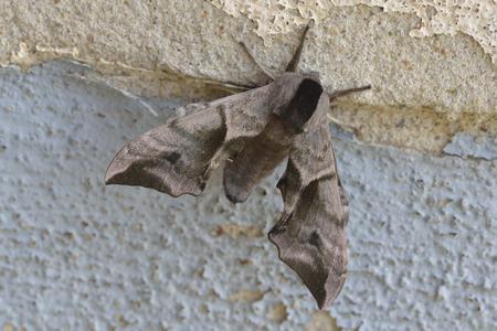 ocellatus: Smerinthus ocellatus, known as the eyed hawk moth,
