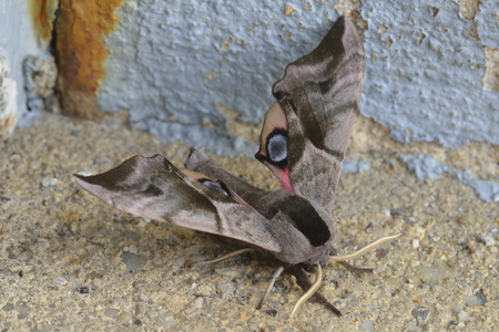 Smerinthus ocellatus, known as the eyed hawk moth,