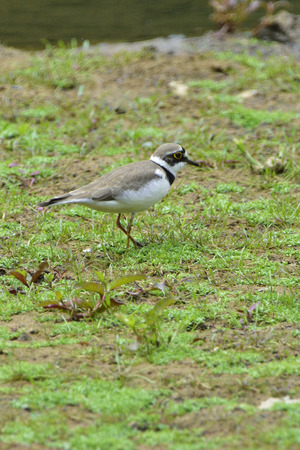 ringed: Little ringed plover in a pond