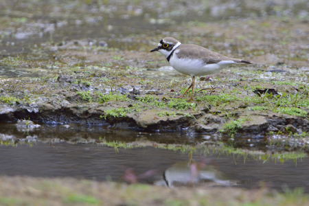 plover: Little ringed plover in a pond