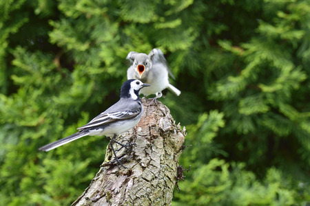 white wagtail: White wagtail with a child