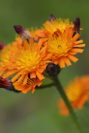 hieracium: Flowers of Hieracium aurantiacum