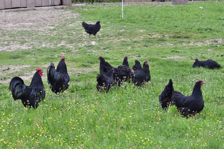 Australorp chicken on a farm.