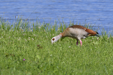 alopochen: A family of Egyptian goose in the morning