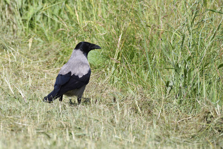 carrion: Carrion crow looking for food on a meadow. Stock Photo