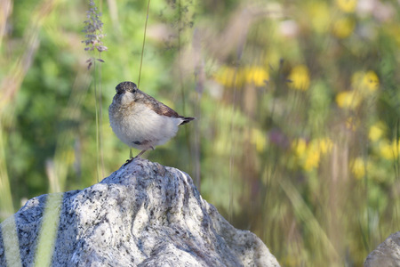 Young Northern Wheatear between stones Stock Photo