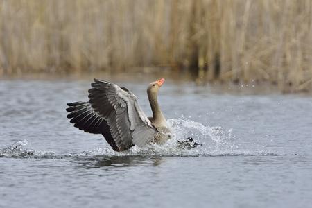 Greylag goose landing in a lake