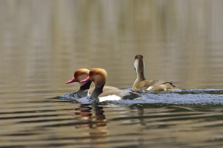 crested duck: Red-crested pochard on a lake Stock Photo