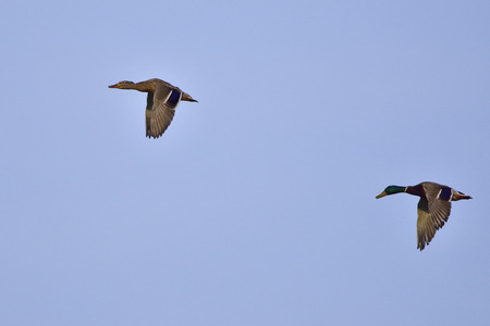 drakes: A couple mallards in flight