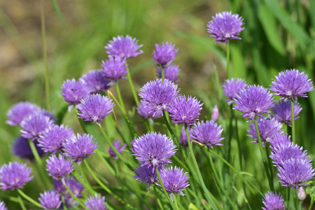 cebollin: Flowers of chives Foto de archivo