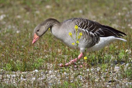 Greylag goose on a lake in bavaria. Stock Photo