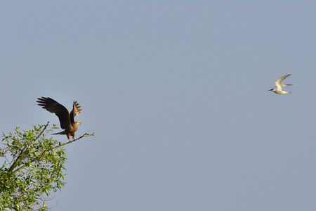 black kite: Common Tern attacking a black kite. Stock Photo