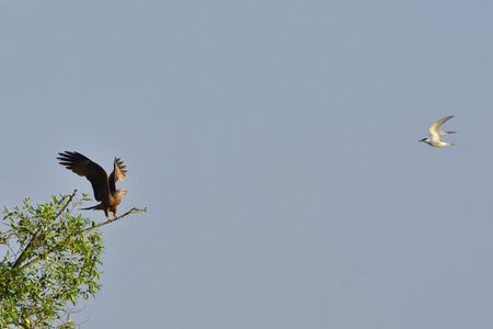 attacking: Common Tern attacking a black kite. Stock Photo