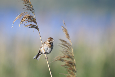common reed: Female Common Reed Bunting