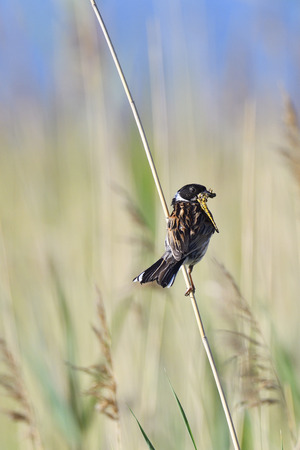 common reed: Male Common Reed Bunting