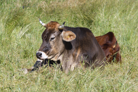 milker: Rotes h?henvieh and Brown Swiss Stock Photo