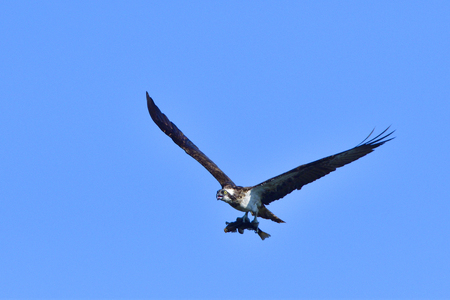 blue fish: Osprey with a fish against blue sky.