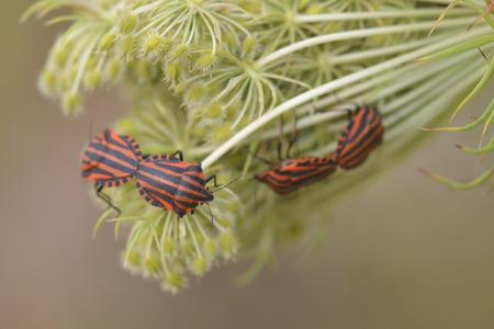 pentatomidae: Graphosoma lineatum and Daucus carota subsp. carota Stock Photo