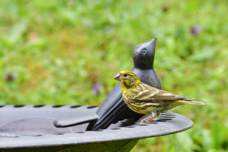 serine: European serine in a bird bath