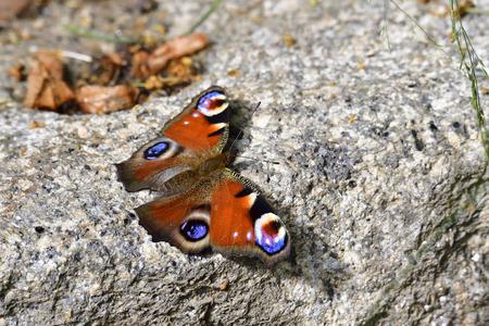 european: European Peacock