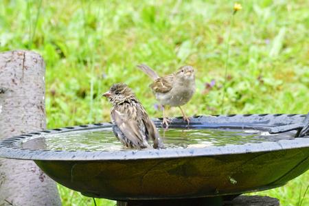 Young house sparrow in a bird bath. Stock Photo