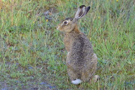 European hare on a meadow Stock Photo