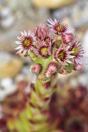 resistant: A macro from flower of houseleeks.