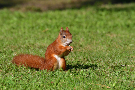 Red squirrel eating grass on a meadow. Stock Photo