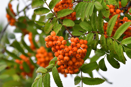 Sorbus aucuparia, Commonly called rowan and mountain-ash Stock Photo