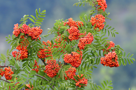 sorbus: Sorbus aucuparia, Commonly called rowan and mountain-ash Stock Photo