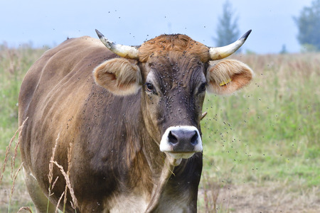 A cow with many flies