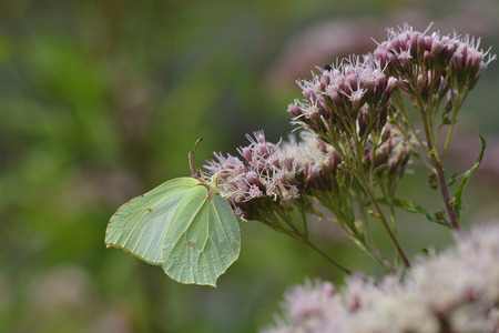 Gonepteryx rhamni, known as the common brimstone Stock Photo