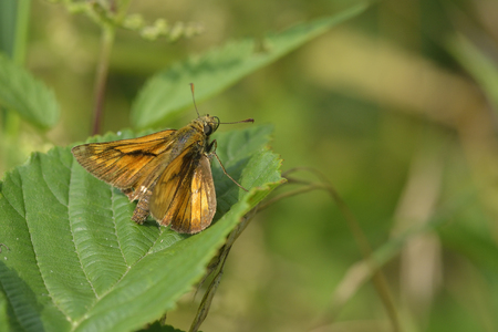 ochlodes: Large skipper on a leaf