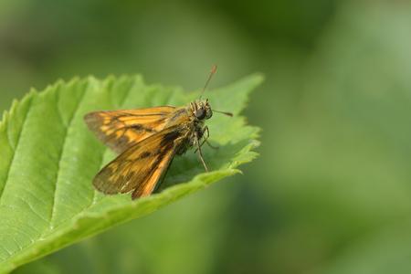Large skipper on a leaf