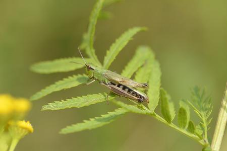 fiddles: Meadow grasshopper Stock Photo